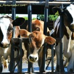 Real California Milk Dairy Tour, Part 1