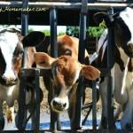 Real California Milk Dairy Tour, Part 1