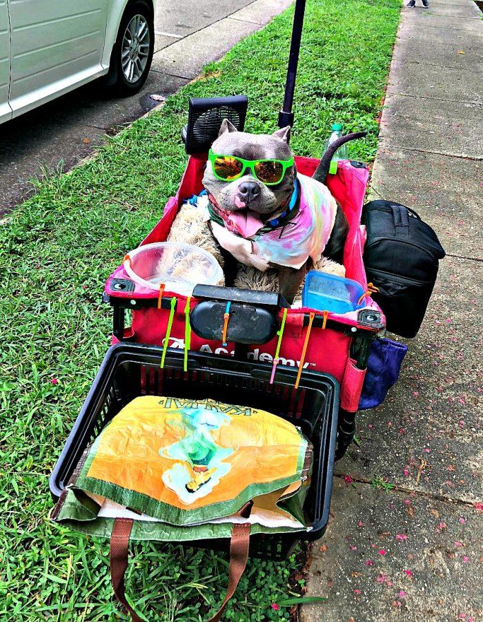 dog wearing sunglasses in a wagon