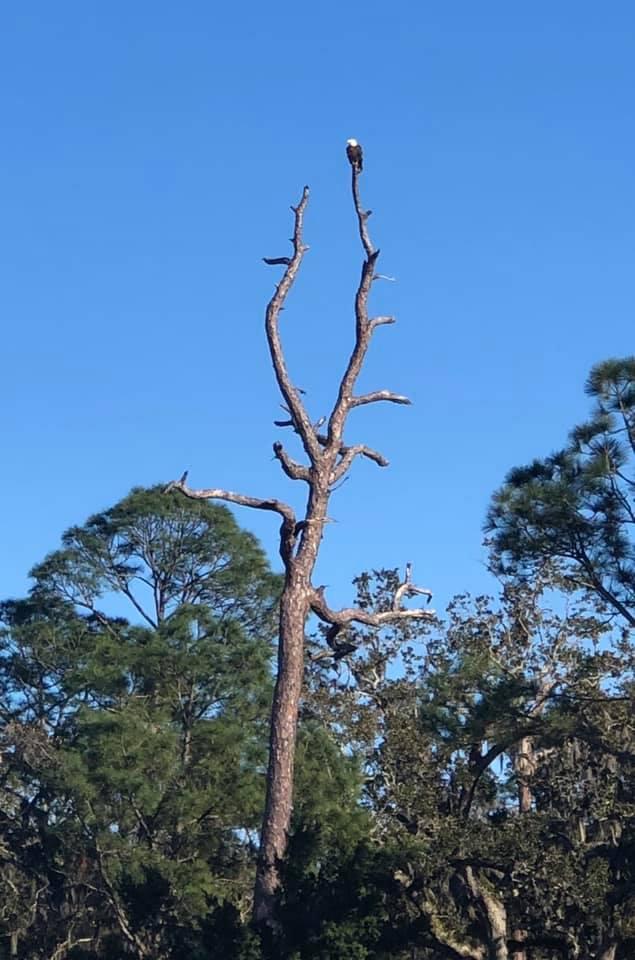 bald eagle perched atop a tree at Jekyll Island